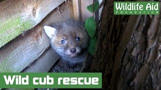 Download Lost fox cub brought back home Video