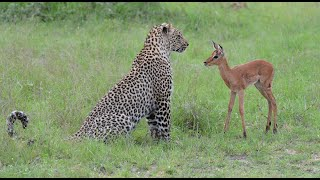 Download Incredible footage of leopard behaviour during impala kill - natural-variation Video