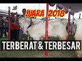 Download Kambing Etawa Super Juara 1 Kontes 2018 Video