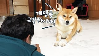 Download 게임하는 주인에게 시비거는 강아지 / 시바견 곰이탱이 Shibainu Video