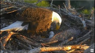 Download AEF-NEFL ~ Proud Papa Samson Reports For EGG DUTY! Sees Egg #2 First Time & Incubates! 1.17.20 Video