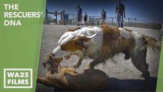 Download A Puppy Gets Attacked at the Big Dog Park for Rescued Homeless Dogs - Hope For Paws Yet Video