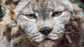 Download CANADIAN LYNX gets a haircut! Video