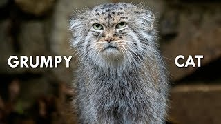 Download Pallas's Cat: The Original Grumpy Cat Video