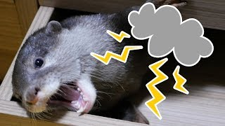 Download 【雷】カワウソのビンゴ初めてカミナリを体験した日(Otter Bingo Reaction to Thunderstorms for the First Time) Video