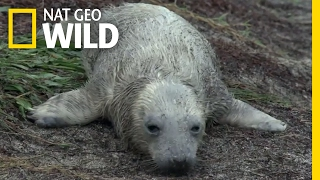 Download A Seal Pup Loses Its Mom | Destination WILD Video