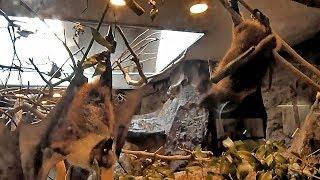 Download 争うオリイオオコウモリ(上野動物園) Fighting Orii flying fox Video