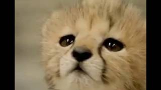 Download Too Adorable ! My Heart Just Melted!!! Baby Cheetah You Can't Take Your Eyes Off Video