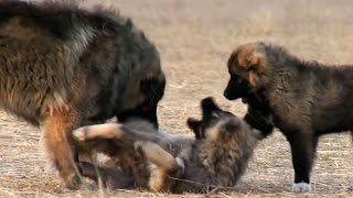 Download Georgian Caucasian Shepherd | Kavkasiuri nagazi | Кавказская овчарка Video