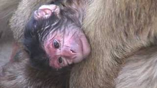 Download Baby Monkey: Newborn Barbary Ape Opens Its Eyes. Video
