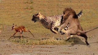 Download Aslan, Yavru Ceylanı Leopardan Kurtarıyor . İzlenilecek Bir Video.. Video