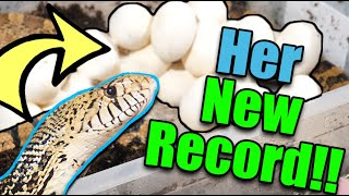 Download Our Bullsnake had a MASSIVE Clutch of Eggs! Video