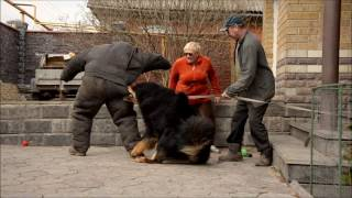 Download Tibetan Mastiff attack - protection dog test !!! Nasledie Tibeta Russia Video