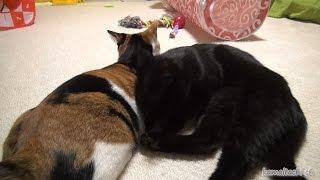 Download ミケの傍で寝たい黒猫のクロ Kuro of black cat that want to sleep next to the Mike【瀬戸の黒猫日記】 Video