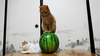 Download スイカ乗り猫 Cat with Watermelon- 2017#4 170821 Video