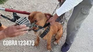 Download كلب البيتبول بعد ان عض شخصين قرر صاحبه الاستغناء عنه مع جمال العمواسي Video