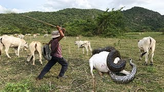 Download Wow ! Three Brave Boys Catch Big Snake During They looking Their Cows Near Village Video