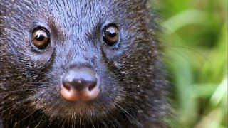 Download A Mongoose and Black Mamba Fight to the Death Video