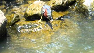 Download Green Heron fishing with bread. Video