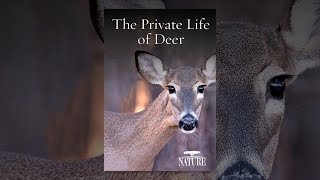Download Nature: The Private Life of Deer Video