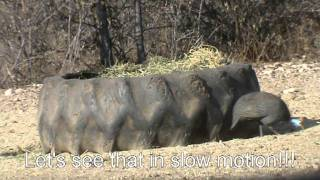 Download guinea fowl bowhunting Video