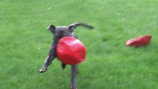 Download Charming Chester Staffordshire Bull Baby. Video