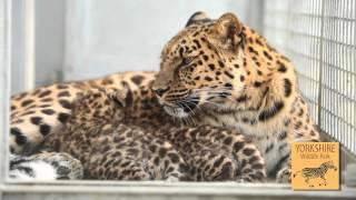 Download Yorkshire Wildlife Park - Amur Leopard Cubs and Conservation Video