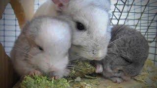 Download Funny Chinchilla 🐭Funny and Cute Chinchilla (Part 1) [Funny Pets] Video