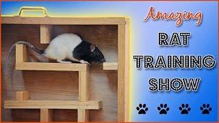 Download Amazing Rat Training Show! Video