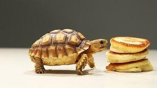 Download Tortoises Try Tiny Pancakes Video