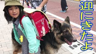 Download GermanShepherdシェパード犬・学校に迎に来たよ♪ Video