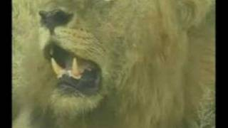 Download Djuma Mapogo male lions March 4, 2008 Video