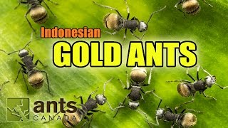 Download I found GOLD ANTS in Indonesia! Video