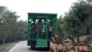 Download Chinese Zoo Puts Visitors in Metal Cages, Lets Animals Roam Free Video