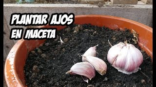 Download Cómo Plantar Ajos en Macetas | Huerto Urbano Video