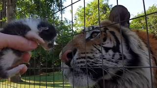 Download Enzo the tiger reacts to baby kitten ! Video
