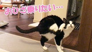 Download 猫おむすびさん、膝に乗りそう!【遠慮がちな元保護猫です】 Video