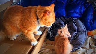 Download Funny Cats and Kittens 😂🐱 Funny Cats and Kittens Fails (Full) [Funny Pets] Video