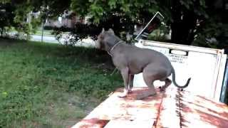 Download Best ultimate pit bull protection guard dog attack trained family pitbull k9 Achilles Video