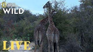 Download Safari Live - Day 187 | Nat Geo Wild Video