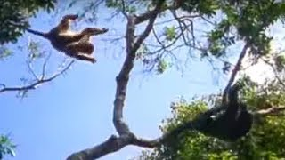 Download Ugandan Chimps Hunting | Life of Mammals | BBC Earth Video