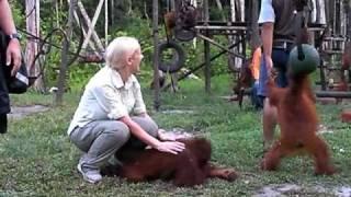 Download Orangutan part 1 of 4 Video