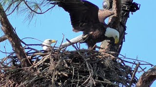 Download SWFL Eagles H & M Show Their Art Of Nest Building 11-04-17 Video