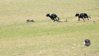 Download Galgos y liebres temporada 2017 / Greyhounds vs Hares Video