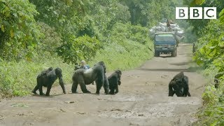 Download A family of gorillas wait to cross the road - Gorilla Family & Me: Episode 1 Preview - BBC Two Video
