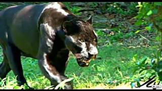 Download BIG CATS - JAGUAR HD Video