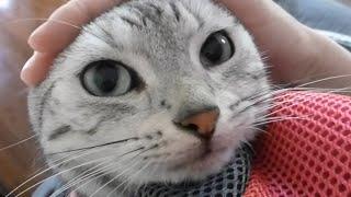 Download 2年ぶりに外にでる猫!…母ちゃんが抱っこ中、怖いよオォォ…と鳴く! -Cat goes out with Mom Video