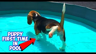 Download Puppy Feels Water for The First Time! Funny Beagle Puppy Marie Video