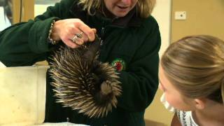 Download Echidna segment - All About Animals TV Show.mov Video