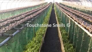 Download Touchstone Snail Technologies LTD - Snail Farming - Curtain Method Video